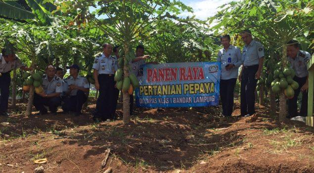 Lapas Bandar Lampung Panen Raya Pepaya California