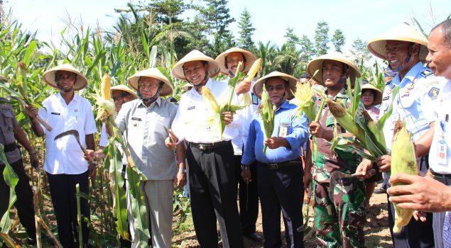 Panen Raya Lapas Piru, Ubah Hutan Jadi Ladang Jagung