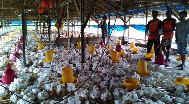 Lapas Palopo Sukses Penen 2.500 Ayam