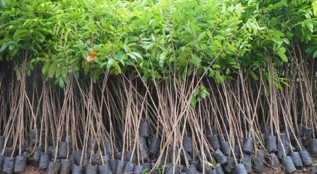 Lapas Kerobokan Sumbang 25 Ribu Bibit Pohon Mahoni Dukung Gerakan Bali Go Green