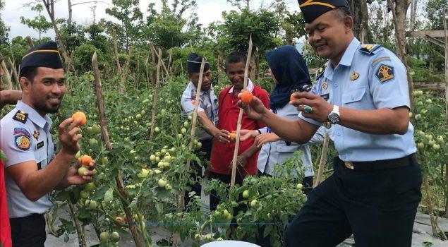 Cabang Rutan Labuha Panen Hasil Kebun Warga Binaan