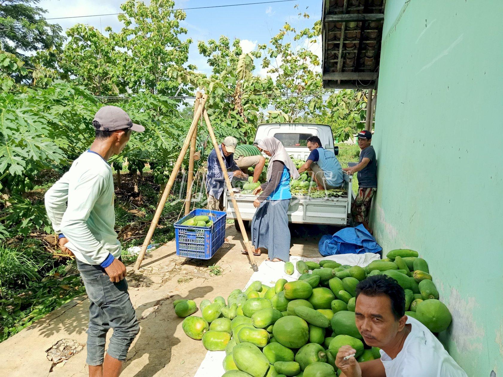 Lahan Asimilasi & Edukasi Rutan Purworejo Panen Pepaya Calina